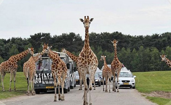 LAST IN 2018: Africa Safari in Beekse Bergen (Holland) 18 August